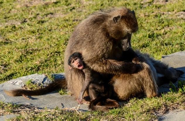 雄狒狒在灵长类中具备更复杂的社会结构。这种猴子生长在南部非洲的津巴布韦,它们成群结队,进行层级管理,而友谊和团结是至关重要的。   在雄狒狒社区中,虽然家族和关系链是受到鼓励的,雄性领袖偶尔还是会主动杀死不属于它们的雌性生的后代,因为他们想要跟这只雌性养育他们自己的后代。通过杀死婴儿并且停止雌性狒狒的哺乳,雄性狒狒可以使得雌性狒狒重新进入发情期。   科学家观察到,为了阻止对自己婴儿的攻击,雌性狒狒会跟团队中的其他雄性成为没有性关系的朋友, 经常互相整理毛发,保持亲密的距离,以换得它们的保护。不仅如