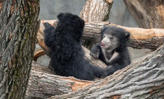 为何这十种动物会有杀害幼崽的行为?